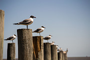 Andrew Rostek Metal Prints - Sea Gulls 3 Metal Print by Andrew Rostek