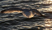 Sunlight Pyrography Posters - Sea Gulls In Flight Poster by Valia Bradshaw