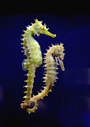 Awesome Pyrography Metal Prints - Sea horse Metal Print by Boon Mee