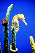 Relaxed Photo Originals - Sea Horse by Linda Retes