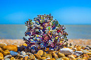 Pebbles Prints - Sea Kale. Print by Gary Gillette