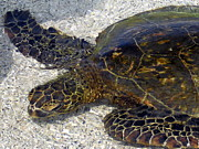 Reptiles Photo Prints - Sea Life Print by Athala Carole Bruckner