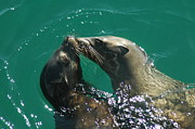Annie Pflueger Art - Sea Lion Love by Annie Pflueger
