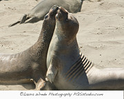 Ocean Art Photos Originals - Sea Lion Love from the book MY OCEAN contact Laura Wrede to purchase this print by Author and Photographer Laura Wrede