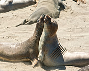 Ano Nusevo Posters - Sea Lion Love from the book MY OCEAN Poster by Author and Photographer Laura Wrede