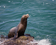 Lajolla Metal Prints - Sea Lion Posing Metal Print by Dale Nelson