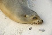 Sea Lion Sleeping On Beach Print by Sami Sarkis