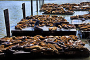 Tourists Attraction Photo Prints - Sea lions at Pier 39  Print by Garry Gay