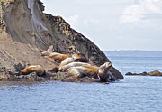 Lion Pastels - Sea Lions Napping by Tracey Levine