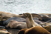 Stood Framed Prints - Sea Lions Sunning on Barge at Pier 39 San Francisco Framed Print by JPLDesigns