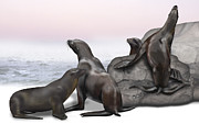 Oceans Drawings Prints - Sea Lions Zalophus californianus - Otarie de Californie - Otaria della california Print by Urft Valley Art