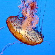 Sea Nettle Framed Prints - Sea Nettle Framed Print by Art Block Collections