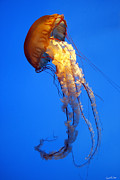 Aquariums Photos - Sea Nettle by David Simons