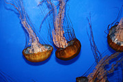 Medusa Posters - Sea Nettle Jelly Fish 5D25076 Poster by Wingsdomain Art and Photography