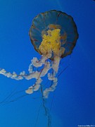 Manowar Art - Sea Nettle Jellyfish 2 by Lisa Anne Riley