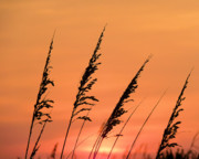 Sea Oats Prints - Sea Oat Sunset Print by JC Findley
