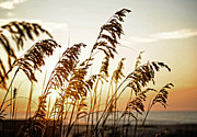 Kelley Nelson - Sea Oat Sunset
