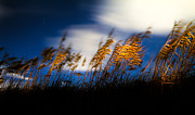 Oats Prints - Sea Oats at Night Print by Jeff Turpin