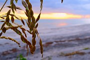 Rachel Abrahams - Sea Oats At Sunset