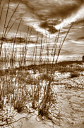 Oats Prints - Sea oats Print by Jim Wright