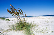 Florida Panhandle Framed Prints - Sea Oats Framed Print by Millard H. Sharp