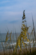 Sea Oats Photo Framed Prints - Sea Oats  Framed Print by Shane Holsclaw