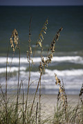 Oats Prints - Sea Oats Print by Teresa Mucha