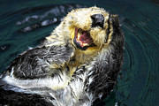 Laughing Photo Framed Prints - Sea Otter  Framed Print by Fabrizio Troiani