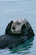 Sea Otters Posters - Sea Otter Grooming Poster by Matthias Breiter