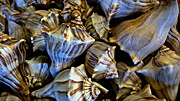 Treasures Photo Prints - Sea Shells 2 Print by Cheryl Young