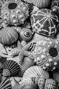 Garry Gay - Sea Shells In Black and...
