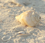 Seashell Art Photo Prints - Sea Shells Print by Kim Hojnacki