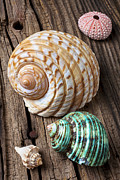 Seashell Seashells Framed Prints - Sea shells with urchin  Framed Print by Garry Gay