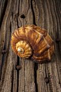Seashell Seashells Framed Prints - Sea snail shell on old wood Framed Print by Garry Gay