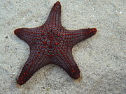 Star Fish Originals - Sea Star by Bhavna Vaswani