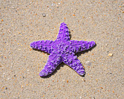 Beachcombing Framed Prints - Sea Star - Purple Framed Print by Al Powell Photography USA