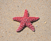 Animal Photography Digital Art - Sea Star - Red by Al Powell Photography USA