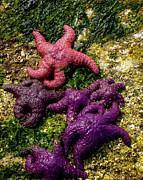 Bright Colors Metal Prints - Sea Stars Metal Print by Robert Bales