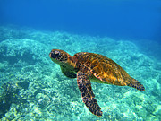 Hawaiian Green Sea Turtle Photos - Sea Turtle Close Up by Bette Phelan