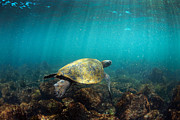 Green Sea Turtle Photos - Sea turtle Galapagos Islands by Paul Kennedy