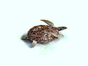 Award Mixed Media Prints - Sea Turtle III Print by Ann Powell