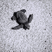 Baby Turtle Posters - Sea Turtle in Black and White Poster by Sebastian Musial