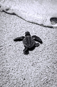 Baby Sea Turtle Framed Prints - Sea Turtle Framed Print by Sebastian Musial