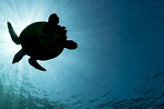 J Gregory Sherman - Sea Turtle Silhouette