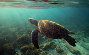 Going Green Posters - Sea turtle surfacing for air underwater Poster by Paul Kennedy