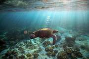 Green Sea Turtle Photos - Sea turtle swimming underwater by Paul Kennedy