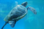 Beach Sculpture Prints - Sea Turtle Under Water Print by DR Management