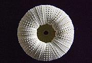 Mary Deal - Sea Urchin