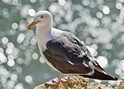 Seagull Photo Prints - Seagull Print by Allan Heller