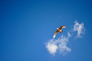 Kamgeek Photography - Seagull and blue sky